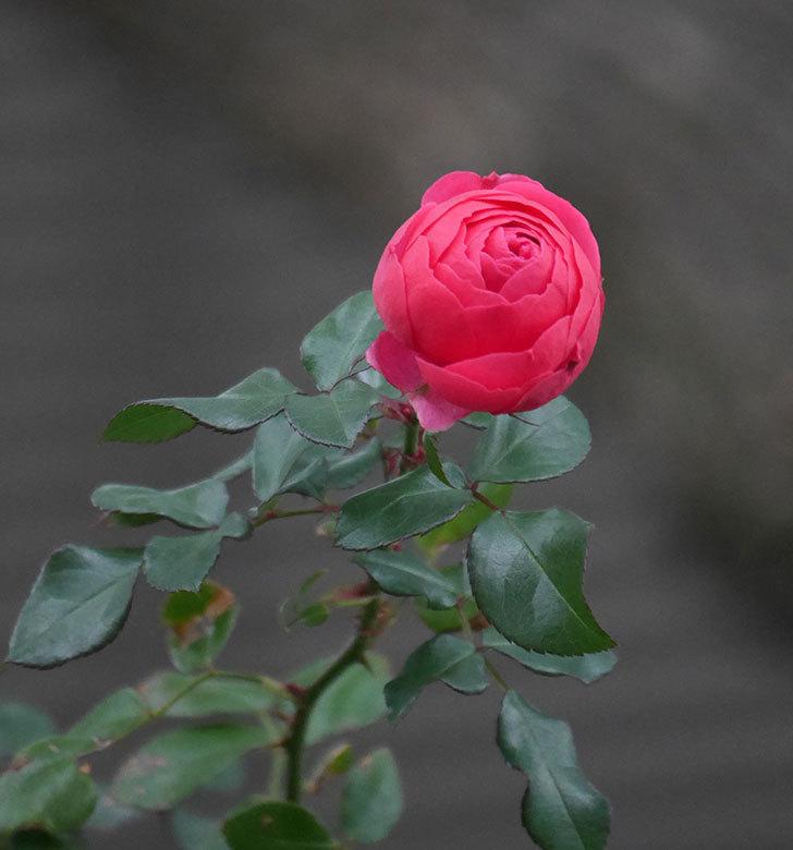 ポンポネッラ(半ツルバラ)に濃いピンクの花が咲いた。2019年-3.jpg