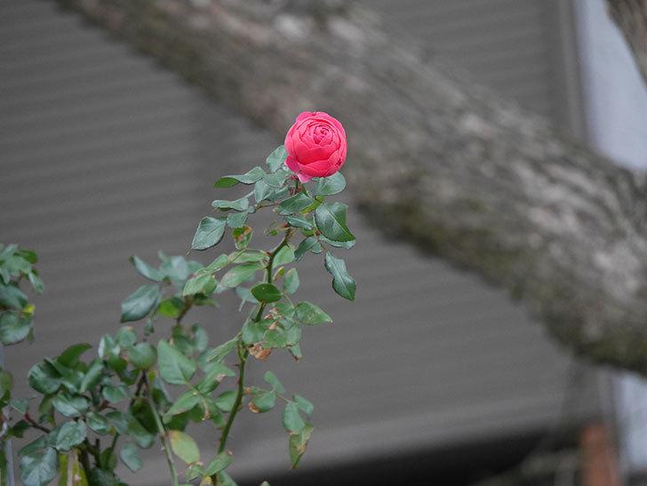 ポンポネッラ(半ツルバラ)に濃いピンクの花が咲いた。2019年-4.jpg