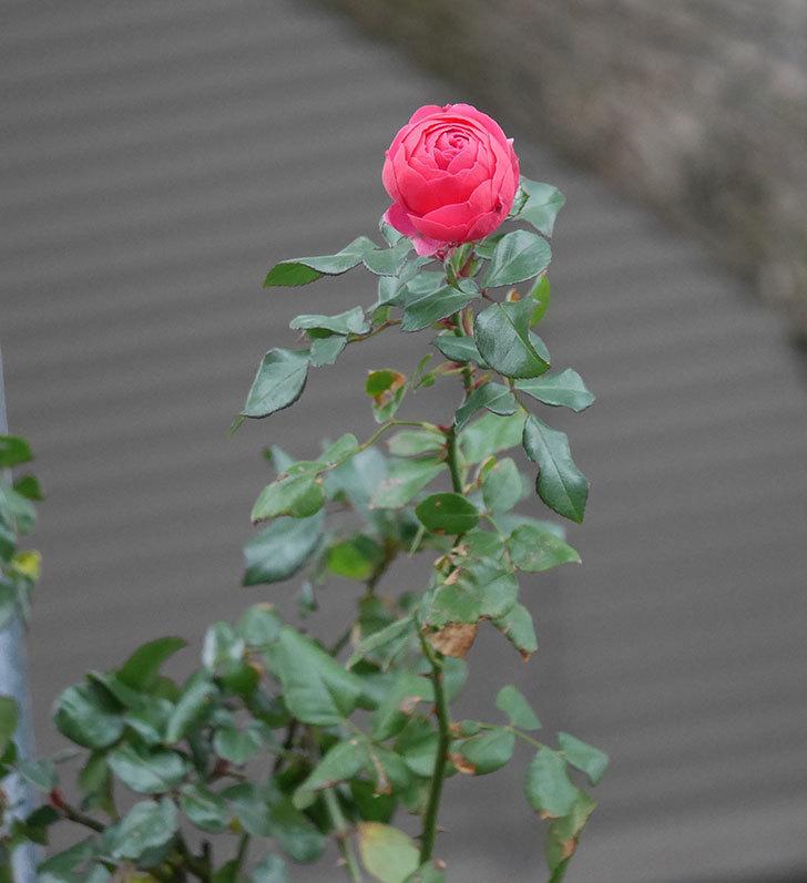 ポンポネッラ(半ツルバラ)に濃いピンクの花が咲いた。2019年-5.jpg