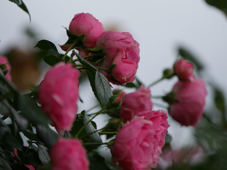 ポンポネッラ(半ツルバラ)の花がたくさん咲いた。2020年-002.jpg