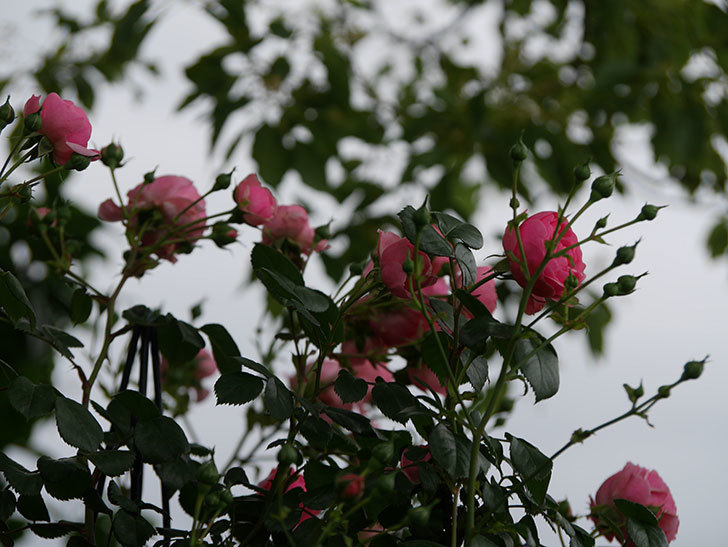 ポンポネッラ(半ツルバラ)の花がたくさん咲いた。2020年-004.jpg