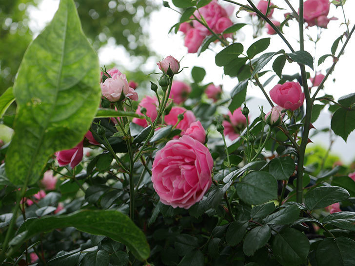 ポンポネッラ(半ツルバラ)の花がたくさん咲いた。2020年-007.jpg
