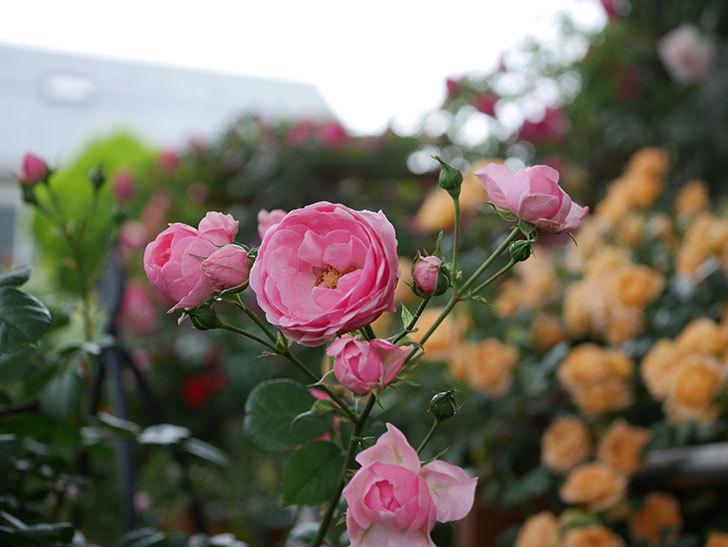 ポンポネッラ(半ツルバラ)の花がたくさん咲いた。2020年-008.jpg