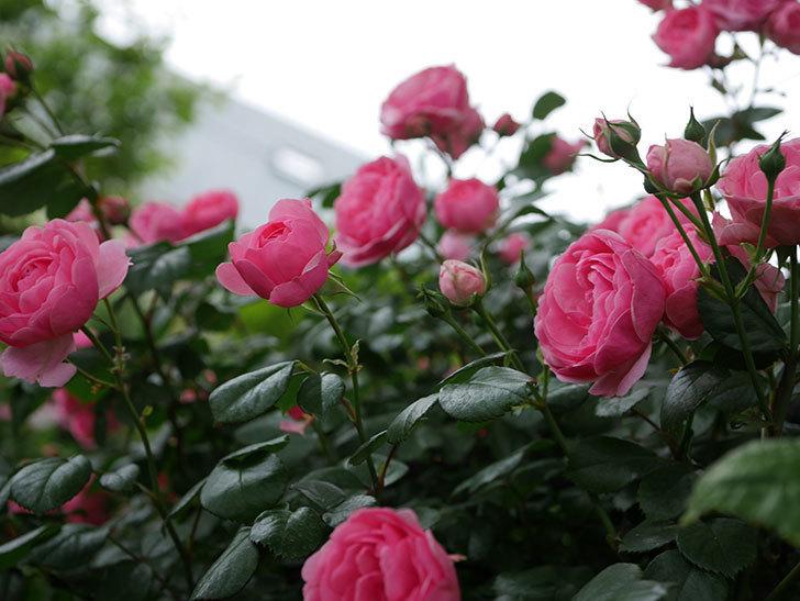 ポンポネッラ(半ツルバラ)の花がたくさん咲いた。2020年-009.jpg