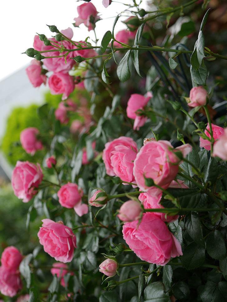ポンポネッラ(半ツルバラ)の花がたくさん咲いた。2020年-013.jpg