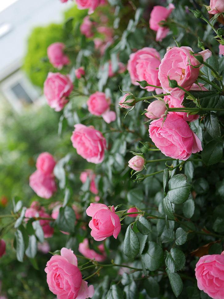 ポンポネッラ(半ツルバラ)の花がたくさん咲いた。2020年-014.jpg