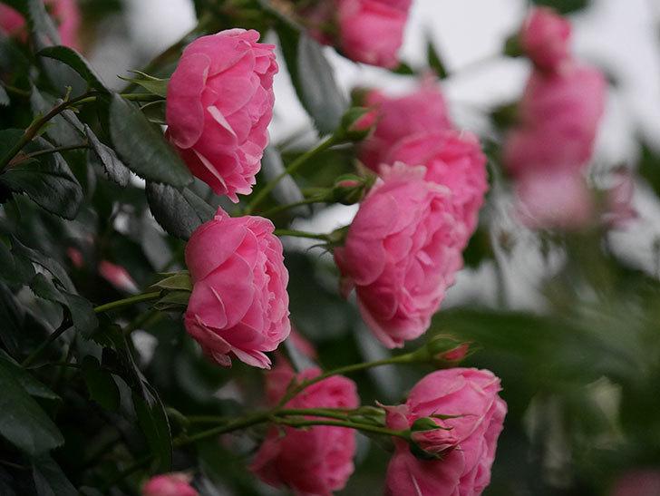 ポンポネッラ(半ツルバラ)の花がたくさん咲いた。2020年-015.jpg