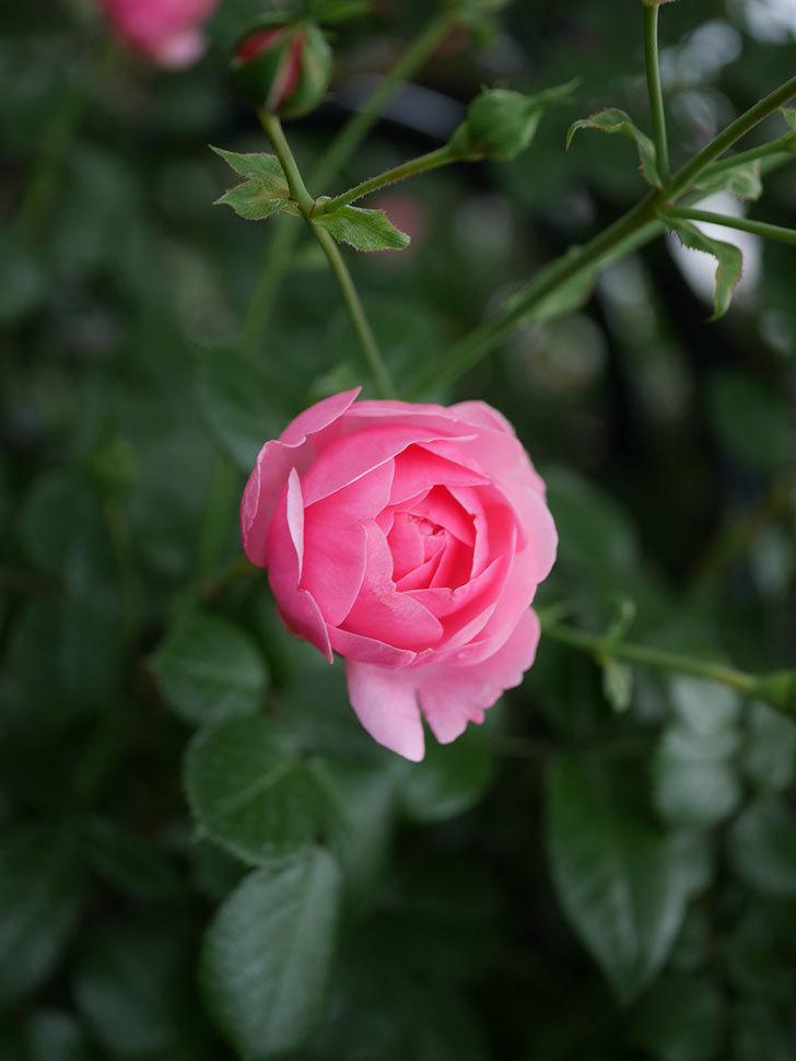 ポンポネッラ(半ツルバラ)の花がたくさん咲いた。2020年-017.jpg