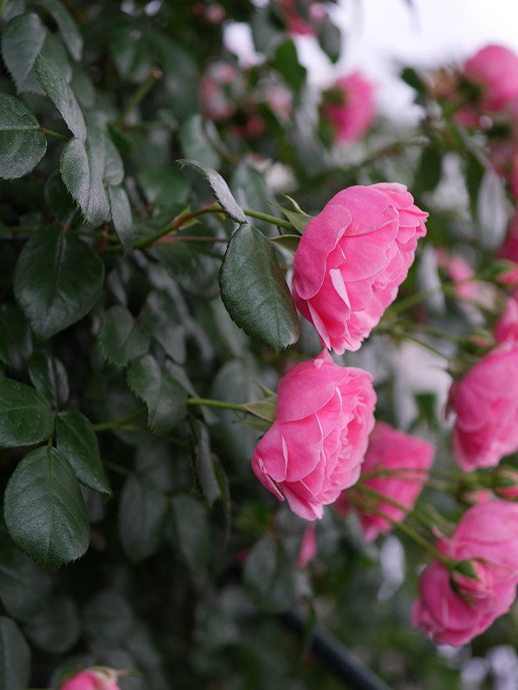 ポンポネッラ(半ツルバラ)の花がたくさん咲いた。2020年-019.jpg