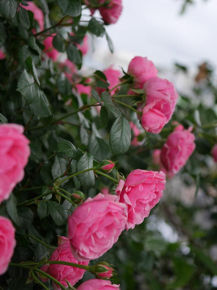 ポンポネッラ(半ツルバラ)の花がたくさん咲いた。2020年-020.jpg