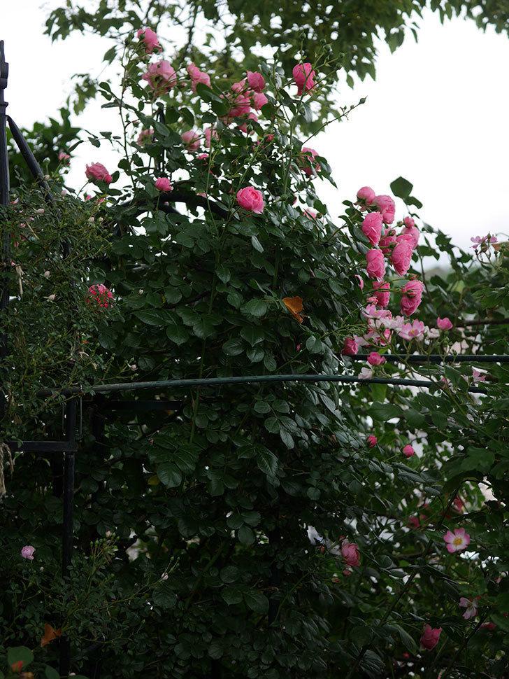 ポンポネッラ(半ツルバラ)の花がたくさん咲いた。2020年-021.jpg