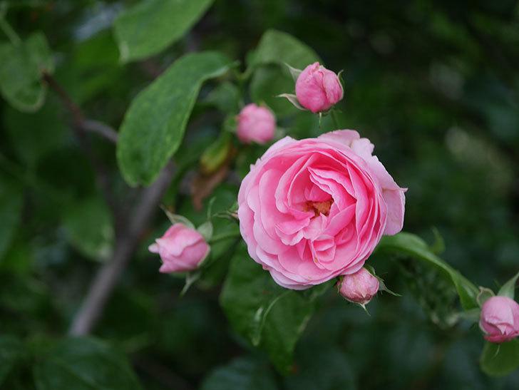 ポンポネッラ(半ツルバラ)の花がたくさん咲いた。2020年-022.jpg