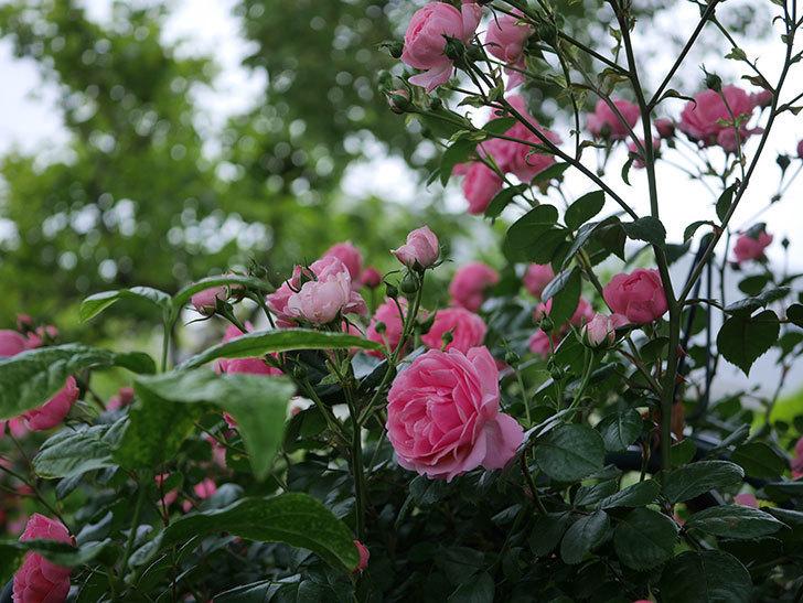 ポンポネッラ(半ツルバラ)の花がたくさん咲いた。2020年-023.jpg