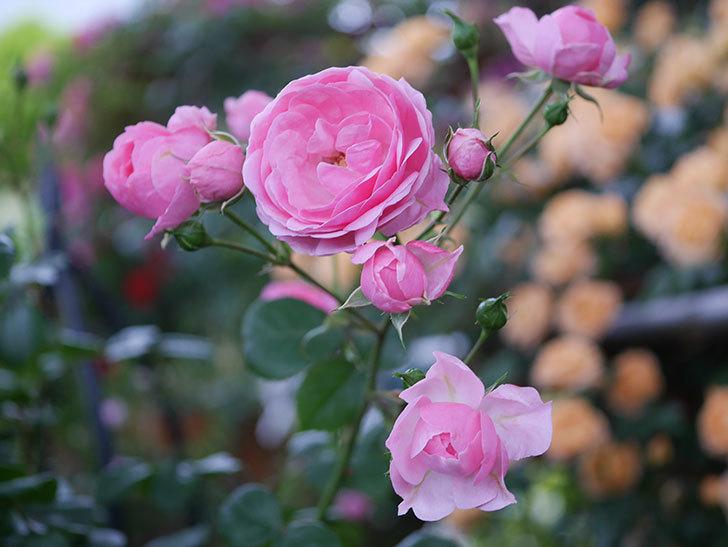 ポンポネッラ(半ツルバラ)の花がたくさん咲いた。2020年-024.jpg