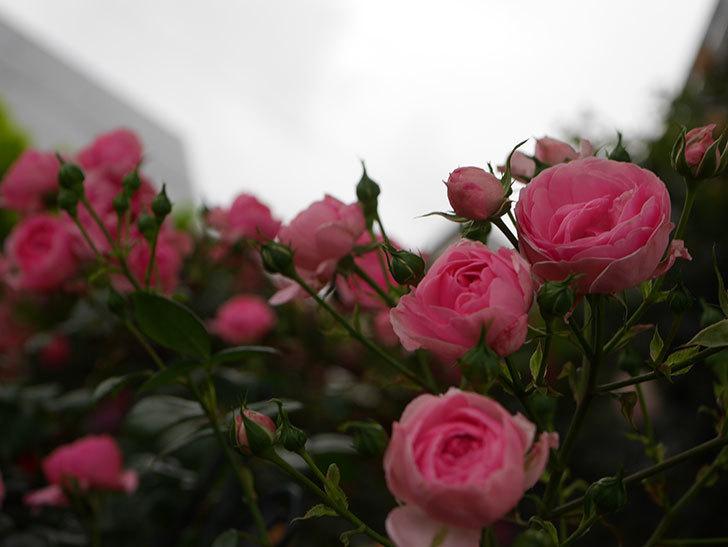 ポンポネッラ(半ツルバラ)の花がたくさん咲いた。2020年-025.jpg