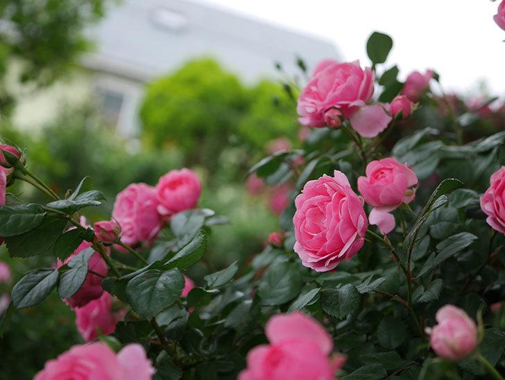ポンポネッラ(半ツルバラ)の花がたくさん咲いた。2020年-026.jpg