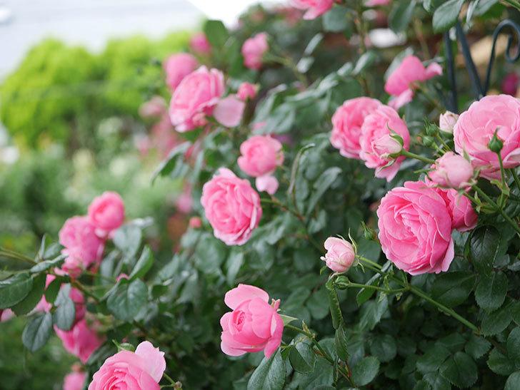 ポンポネッラ(半ツルバラ)の花がたくさん咲いた。2020年-028.jpg