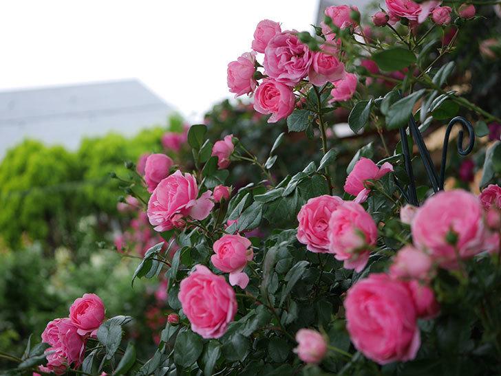 ポンポネッラ(半ツルバラ)の花がたくさん咲いた。2020年-029.jpg