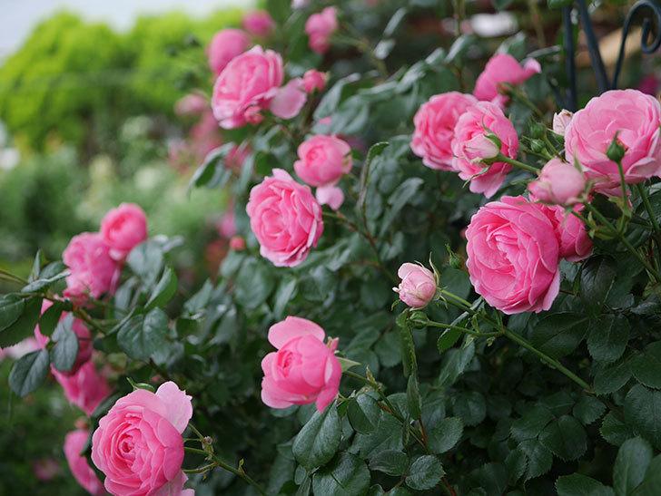ポンポネッラ(半ツルバラ)の花がたくさん咲いた。2020年-030.jpg