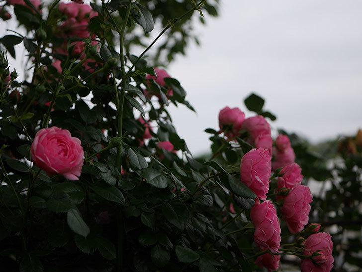 ポンポネッラ(半ツルバラ)の花がたくさん咲いた。2020年-034.jpg