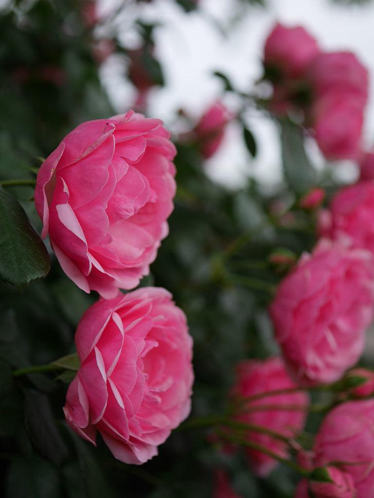 ポンポネッラ(半ツルバラ)の花がたくさん咲いた。2020年-035.jpg