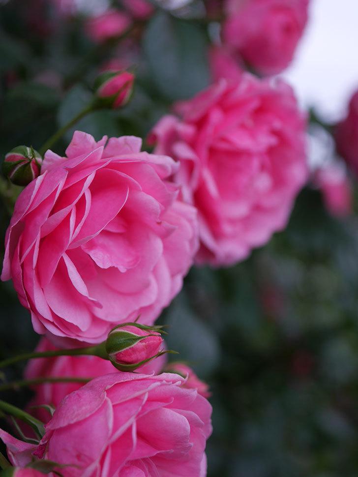 ポンポネッラ(半ツルバラ)の花がたくさん咲いた。2020年-037.jpg