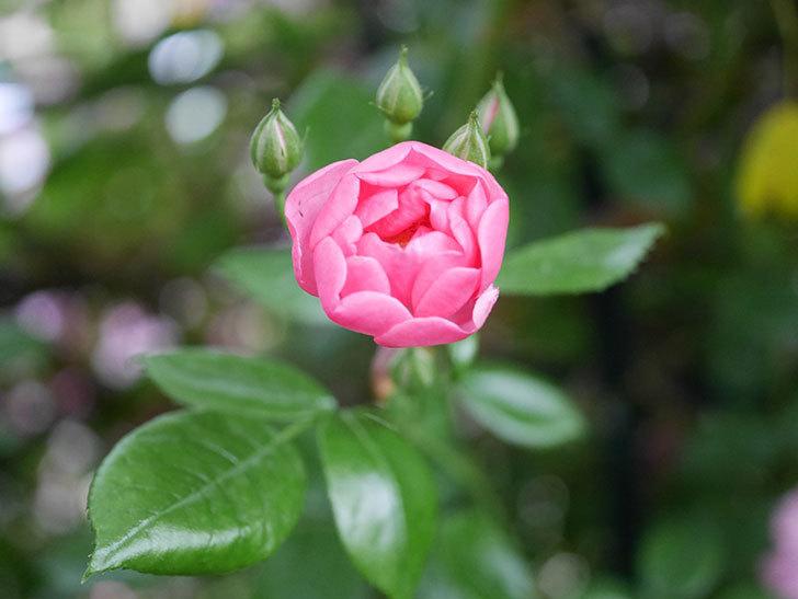 ポンポネッラ(半ツルバラ)の花がたくさん咲いた。2020年-039.jpg
