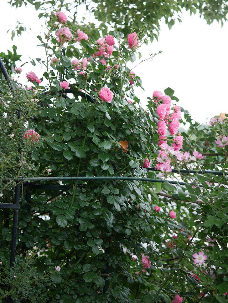 ポンポネッラ(半ツルバラ)の花がたくさん咲いた。2020年-040.jpg