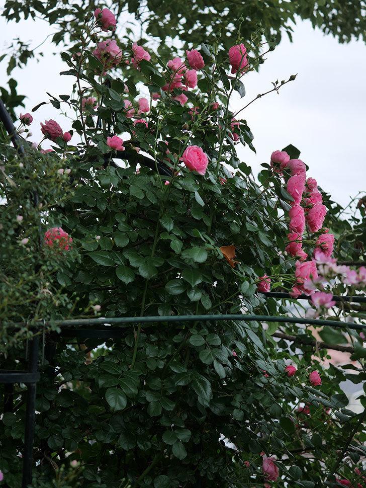 ポンポネッラ(半ツルバラ)の花がたくさん咲いた。2020年-041.jpg