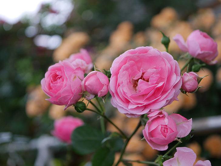 ポンポネッラ(半ツルバラ)の花がたくさん咲いた。2020年-044.jpg