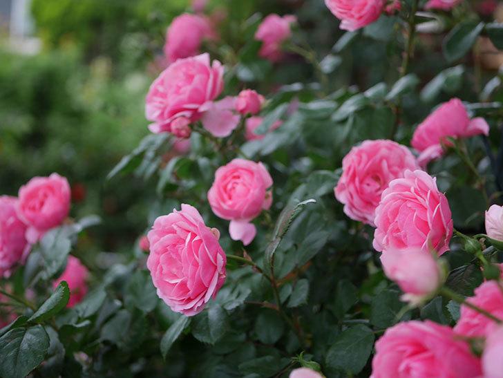 ポンポネッラ(半ツルバラ)の花がたくさん咲いた。2020年-046.jpg