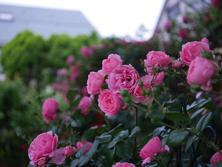 ポンポネッラ(半ツルバラ)の花がたくさん咲いた。2020年-047.jpg