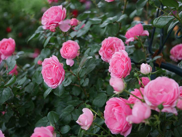 ポンポネッラ(半ツルバラ)の花がたくさん咲いた。2020年-048.jpg