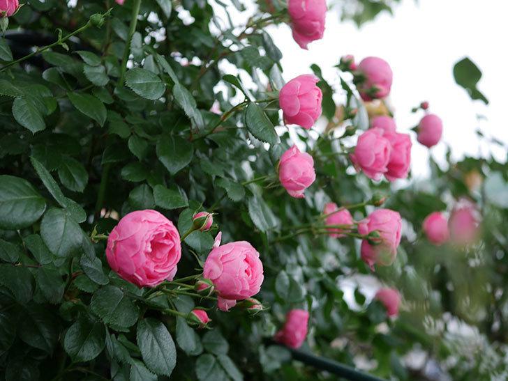 ポンポネッラ(半ツルバラ)の花が咲きだした。2020年-001.jpg