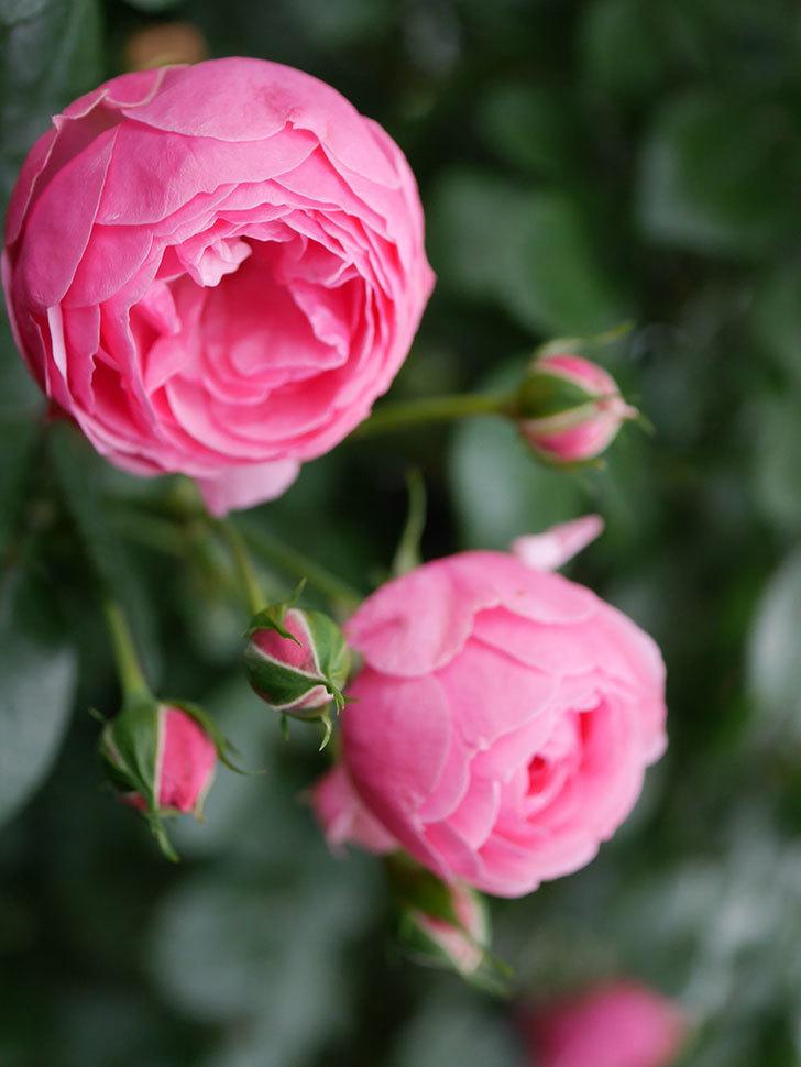 ポンポネッラ(半ツルバラ)の花が咲きだした。2020年-002.jpg