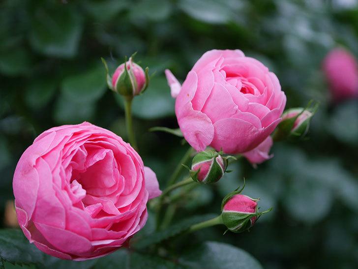 ポンポネッラ(半ツルバラ)の花が咲きだした。2020年-003.jpg