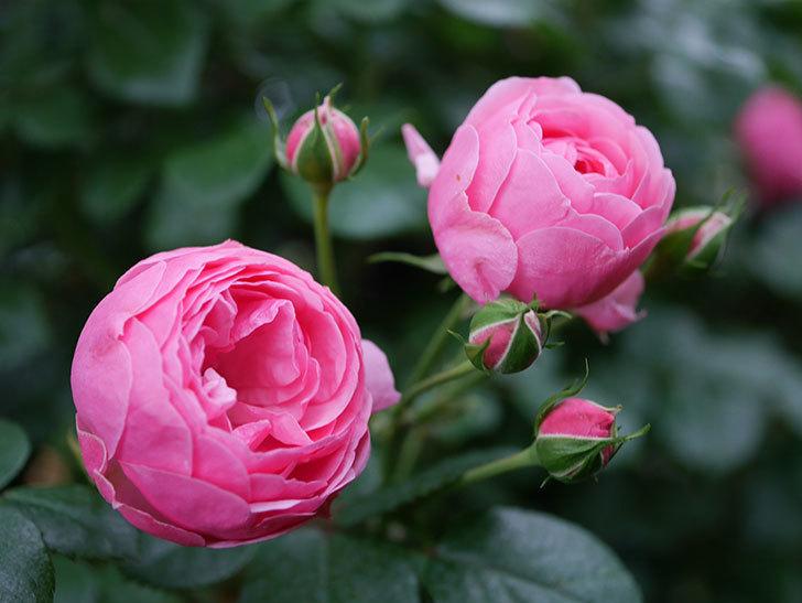 ポンポネッラ(半ツルバラ)の花が咲きだした。2020年-004.jpg