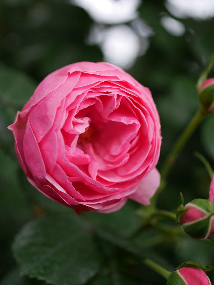 ポンポネッラ(半ツルバラ)の花が咲きだした。2020年-005.jpg