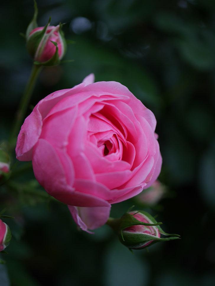 ポンポネッラ(半ツルバラ)の花が咲きだした。2020年-006.jpg