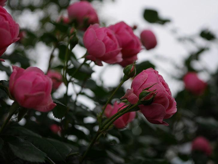 ポンポネッラ(半ツルバラ)の花が咲きだした。2020年-008.jpg