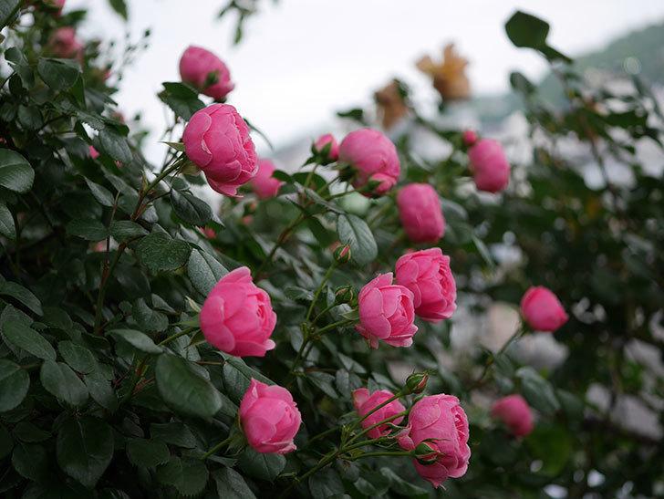 ポンポネッラ(半ツルバラ)の花が咲きだした。2020年-009.jpg