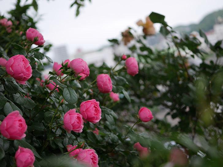 ポンポネッラ(半ツルバラ)の花が咲きだした。2020年-010.jpg