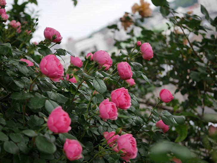 ポンポネッラ(半ツルバラ)の花が咲きだした。2020年-011.jpg