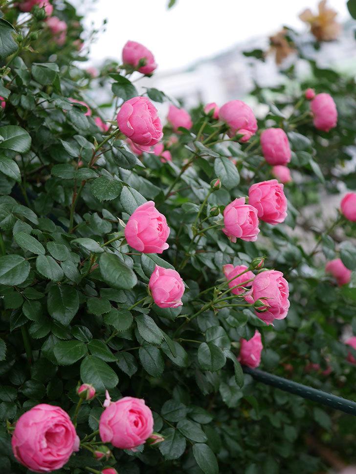 ポンポネッラ(半ツルバラ)の花が咲きだした。2020年-012.jpg