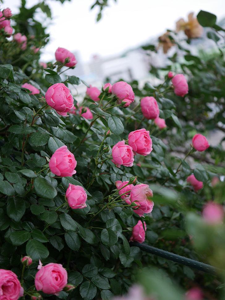 ポンポネッラ(半ツルバラ)の花が咲きだした。2020年-013.jpg