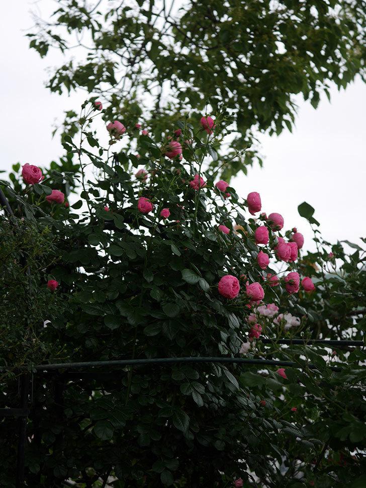 ポンポネッラ(半ツルバラ)の花が咲きだした。2020年-014.jpg