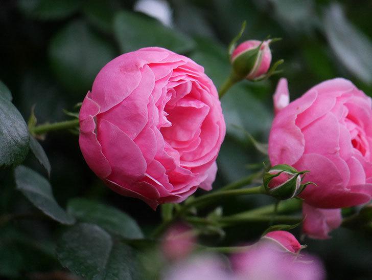 ポンポネッラ(半ツルバラ)の花が咲きだした。2020年-017.jpg