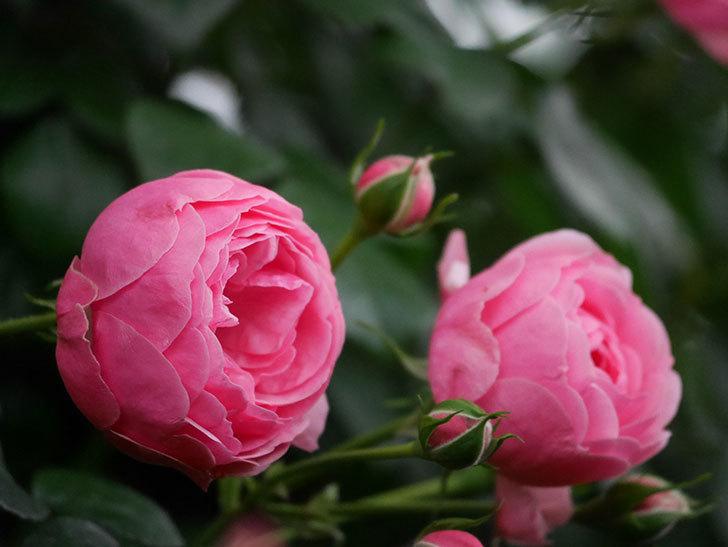 ポンポネッラ(半ツルバラ)の花が咲きだした。2020年-018.jpg