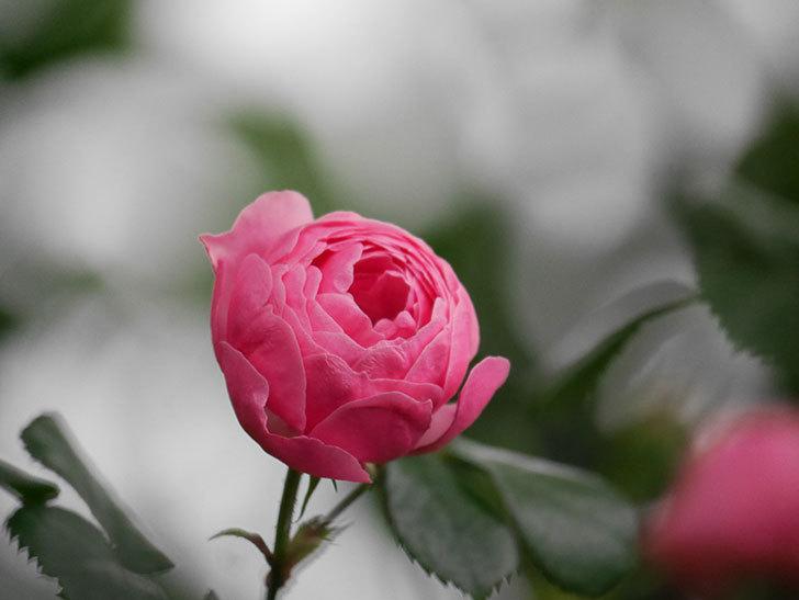 ポンポネッラ(半ツルバラ)の花が咲きだした。2020年-021.jpg