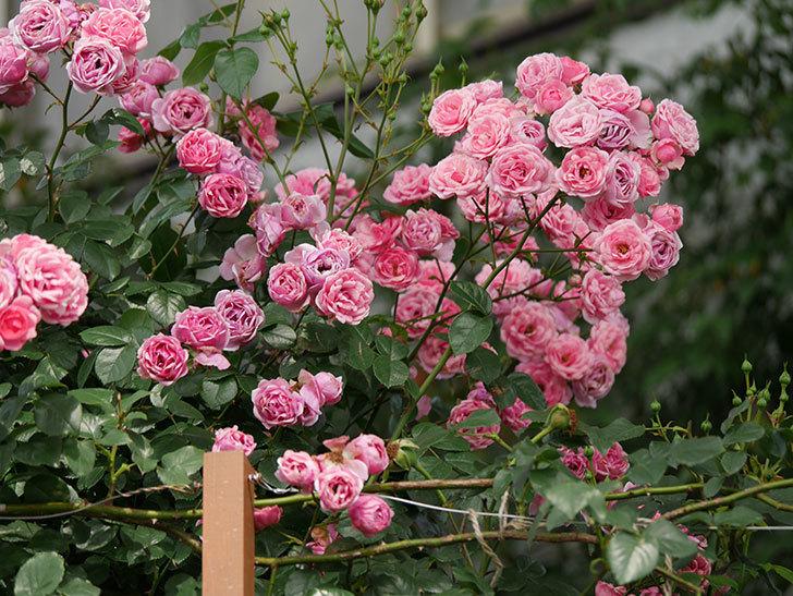 ポンポネッラ(半ツルバラ)の花が満開になった。2019年-10.jpg
